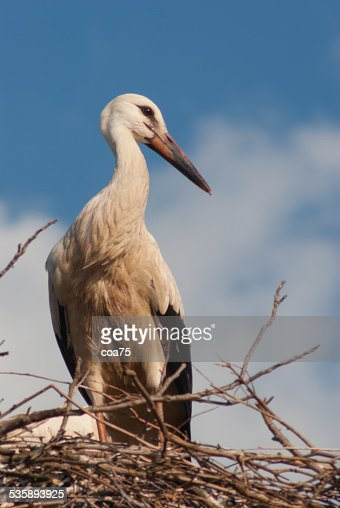 One white stork : Stock Photo