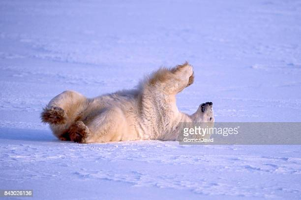 One Wild Polar Bear Rolling Around on the Snow