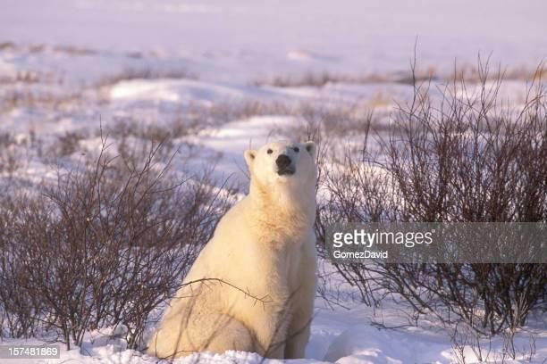 One Wild Polar Bear Sitting in Hudson Bay Willows