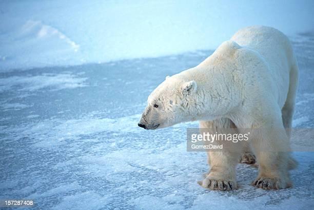 One Wild Polar Bear Standing on Icy Hudson Bay