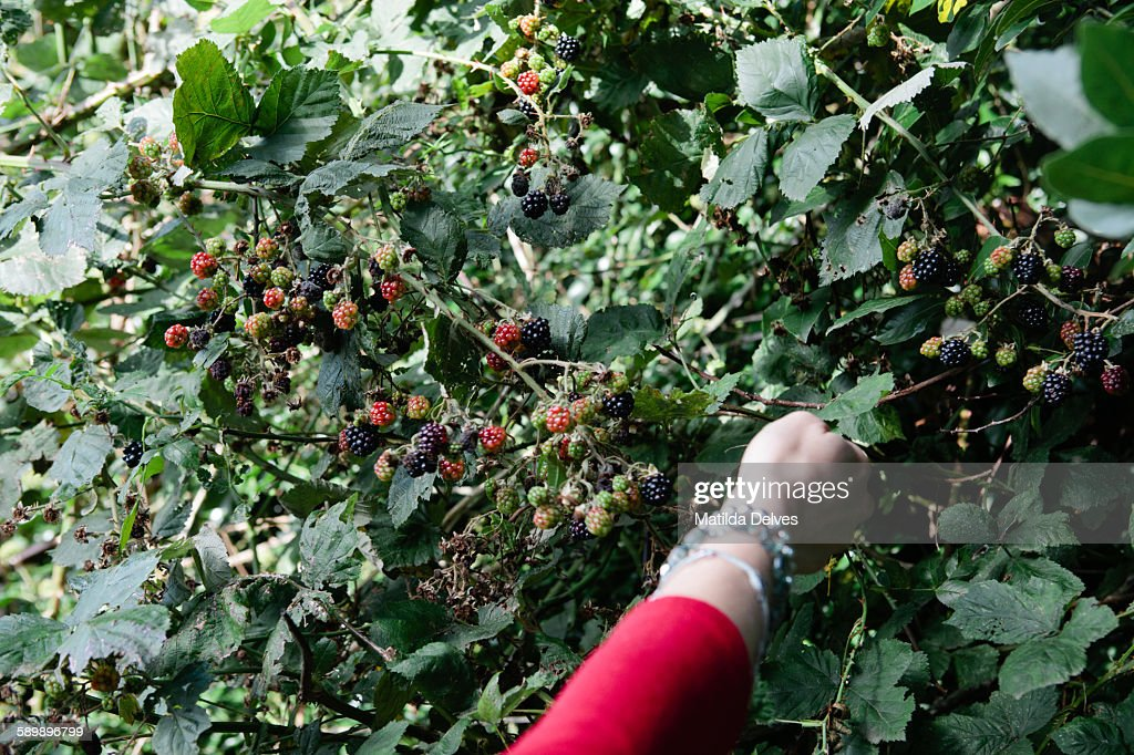 One woman, picking black berries from a hedge