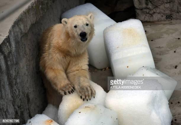 Oneandhalf year old polar bear Szeriy cools on giant ice cubes at Budapest Zoo and Botanic Garden on August 4 2017 / AFP PHOTO / ATTILA KISBENEDEK