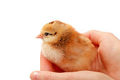 http://www.istockphoto.com/photo/one-day-old-chick-gm657926266-119949509