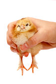 http://www.istockphoto.com/photo/one-day-old-chick-gm657928642-119949521
