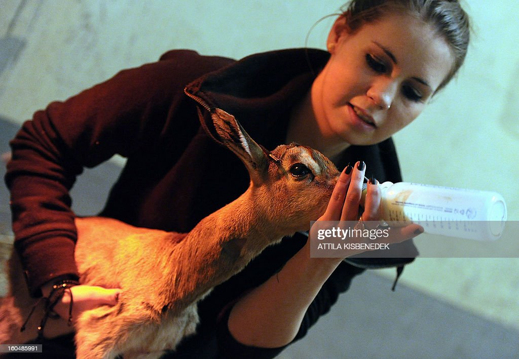 A one-day old mhorr gazelle (Nager dama mhorr) called 'Ebo' is fed by a zoo keeper at the zoo and Botanic Garden in Budapest on February 1, 2013.