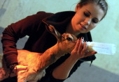 A oneday old mhorr gazelle called 'Ebo' is fed by a zoo keeper at the zoo and Botanic Garden in Budapest on February 1 2013 AFP PHOTO / ATTILA...