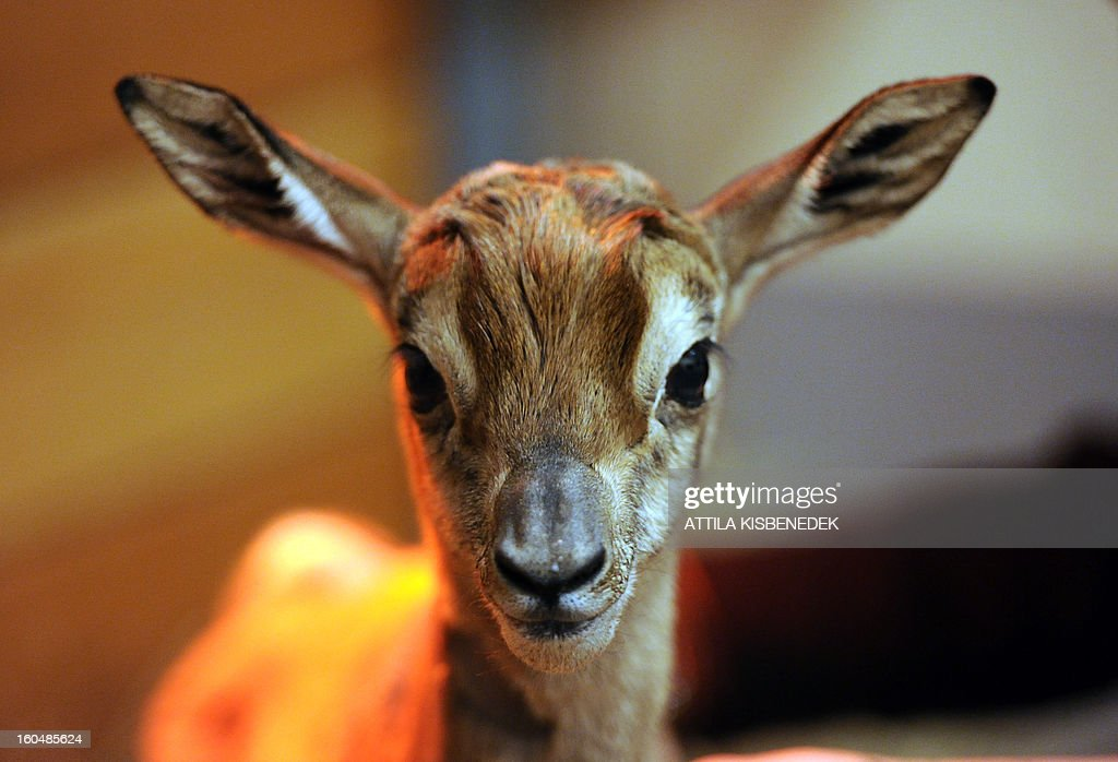 A one-day old mhorr gazelle (Nager dama mhorr) called 'Ebo' is pictured at the zoo and Botanic Garden in Budapest on February 1, 2013. AFP PHOTO / ATTILA KISBENEDEK