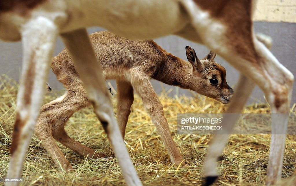 A one-day old mhorr gazelle (Nager dama mhorr) called 'Ebo' is pictured at the zoo and Botanic Garden in Budapest on February 1, 2013.