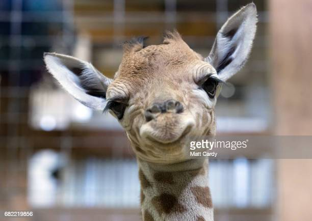 Onedayold baby giraffe calf Gus looks at the camera at Noah's Ark farm on May 12 2017 in Bristol England The baby giraffe was born yesterday at the...