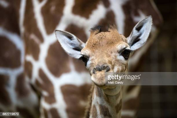 Onedayold baby giraffe calf Gus stands with his mother Genny at Noah's Ark farm on May 12 2017 in Bristol England The baby giraffe was born yesterday...