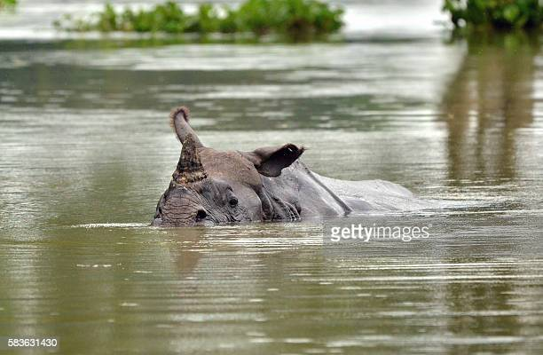 A onehorned rhino swims through flood waters in Kaziranga National Park about 250 kilometers east of Guwahati on July 27 2016 Vast tracts of the park...