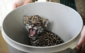 A onemonthold jaguar cub looks out from a bucket at the Leningradsky Zoo in Saint Petersburg on April 15 2015 AFP PHOTO / OLGA MALTSEVA