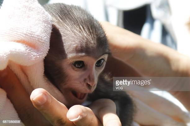 A onemonthold patas monkey meets the media at Zhengzhou Zoo on May 23 2017 in Zhengzhou Henan Province of China Three patas monkeys were born in late...