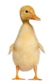 Duckling, 1 week old, standing in front of white background