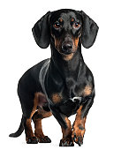 Dachshund, one year old, standing in front of white background.