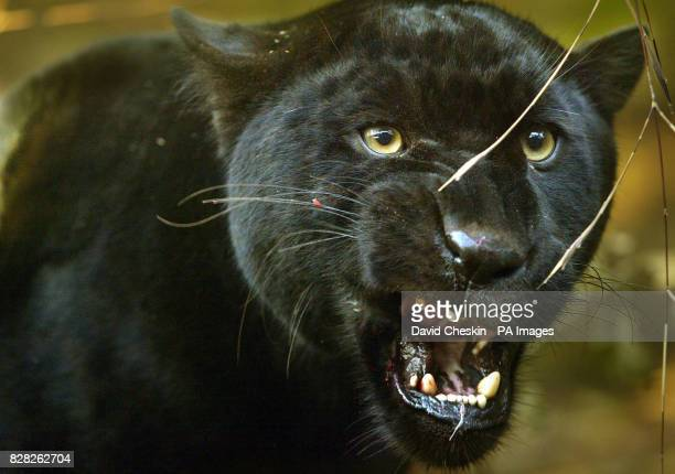 Oneyearold black jaguar Mowgli who was brought to Edinburgh in October from a zoo in France to meet his new mate Handaya patrols his cage Tuesday 13...