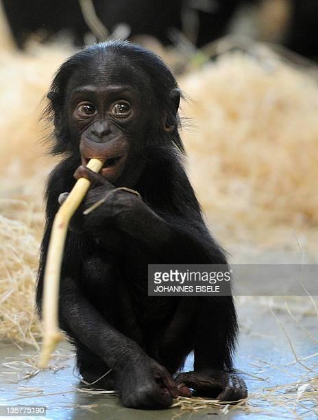 Oneyearold bonobo baby 'Likemba' plays with a piece of wood in her enclosure in her enclosure in Berlin's Tiergarten zoo on October 12 2010 in Berlin...