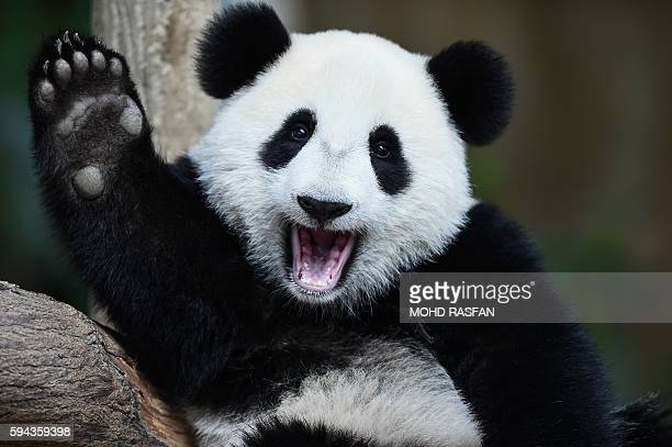 TOPSHOT Oneyearold female giant panda cub Nuan Nuan reacts inside her enclosure during joint birthday celebrations for the panda and its tenyearold...