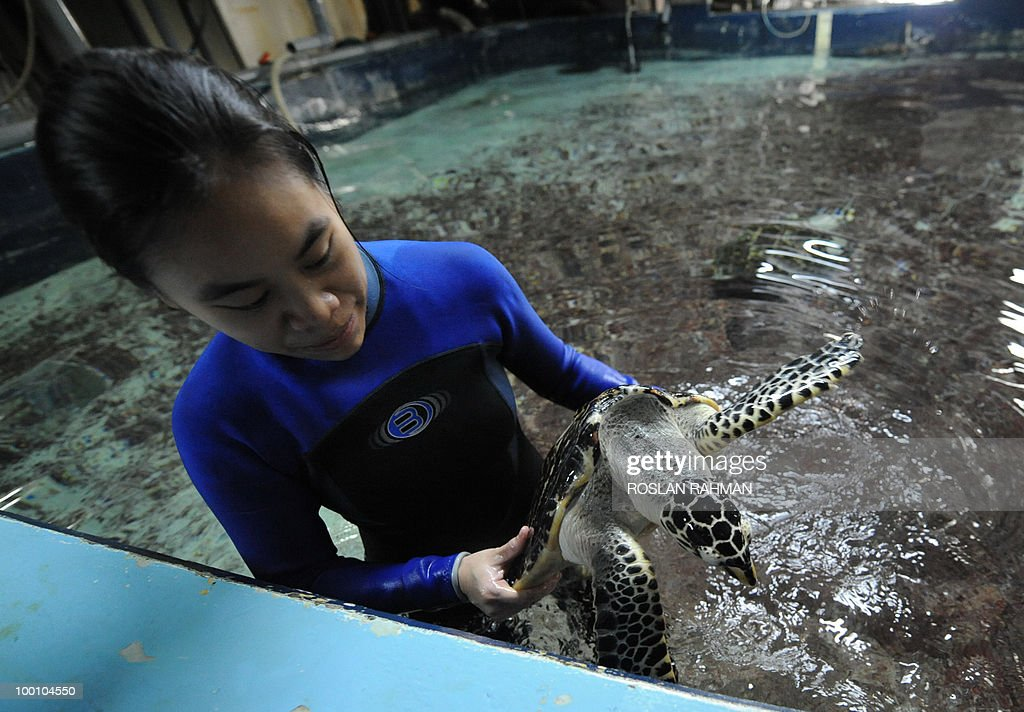 Ooi Mei Chen, a Marine Biologist with Sentosa's second-generation Underwater World, holds a Hawksbill Turtle a day after its arrival from Port of Nagoya Public Aquarium (PNPA) of Japan in Singapore on May 21, 2010. These turtles will be fitted with satellite-tracking devices and will be release later in September this year to study their migratory behaviour.