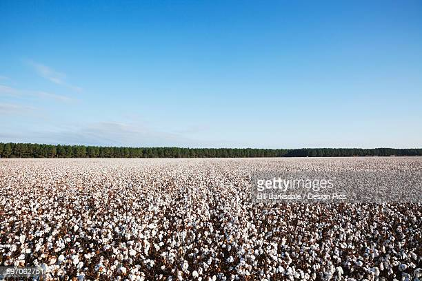 Open cotton at the harvest stage
