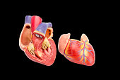 Open human heart model showing inside isolated on black background. This artificial organ model is used for education in high school to learn students about biology. They learn about the human body an