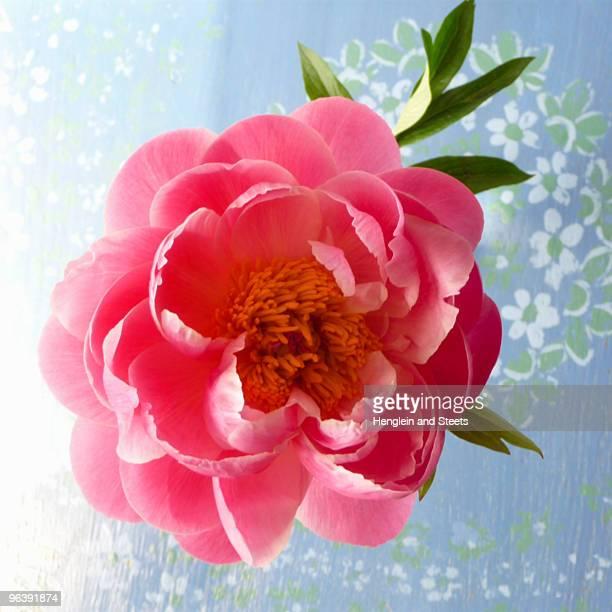 open peony blossom