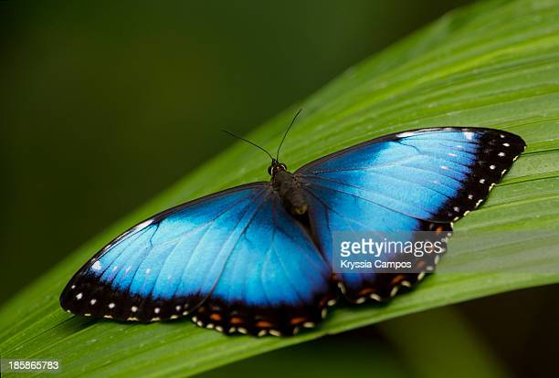 Open wings Morpho Butterfly on leaf