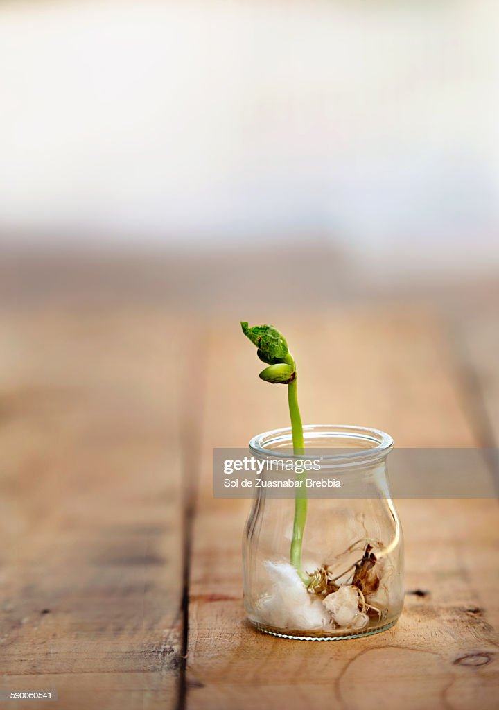 Opening bean sprout in a glass