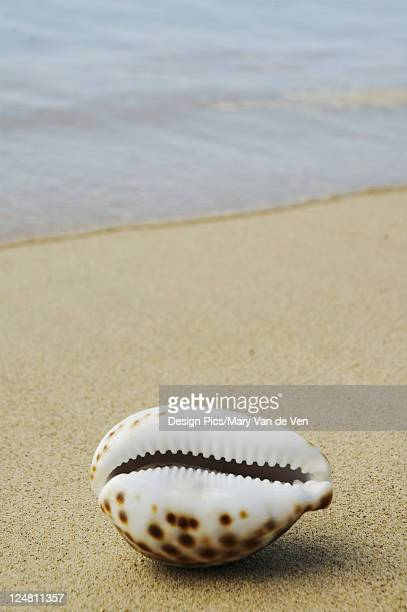 Opening side of cowrie shell, laying on sandy beach, ocean background.