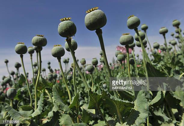 Opium poppy buds are seen in an Afghan opim poppy field in Habibullah village in Khanashin District Helmand province on April 24 2011 Nearly a decade...