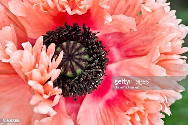 Opium poppy -Papaver somniferum-, blossom