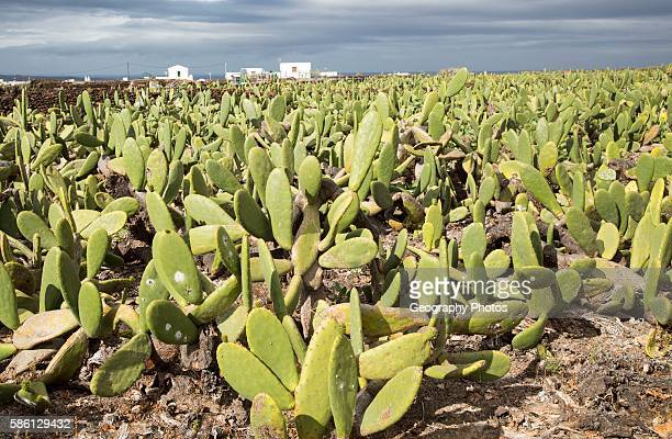 Opuntia ficusindica prickly pear cactus crop for cochineal production Mala Lanzarote Canary Islands Spain
