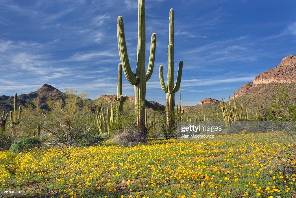 Oragan pipe cactus