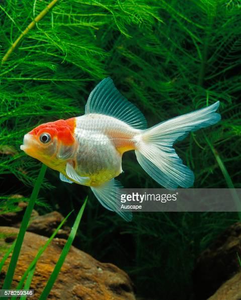 Oranda lionhead goldfish Carassius auratus auratus young fish in aquarium Oranda have a dorsal fin and double tail