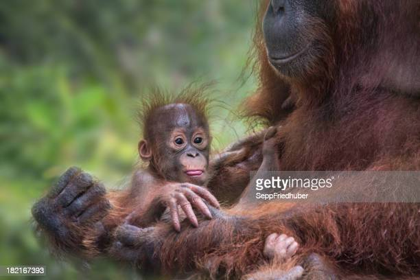 Orang Utan baby in the hands of her mother