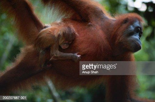 Orang utan (Pongo pygmaeus) carrying young, Gunung Leuser N.R, Indonesia