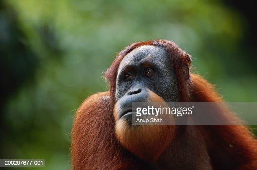 Orang utan (Pongo pygmaeus) close up, Gunung Leuser N.R, Indonesia