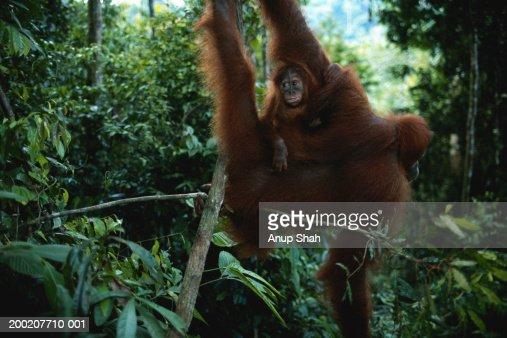 Orang utan (Pongo pygmaeus) hanging, Gunung Leuser N.P, Indonesia