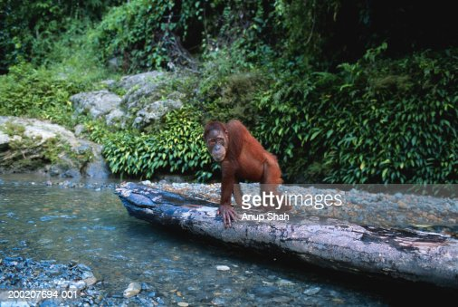 Orang utan (Pongo pygmaeus) sitting and watching, Gunung Leuser N.P, Indonesia