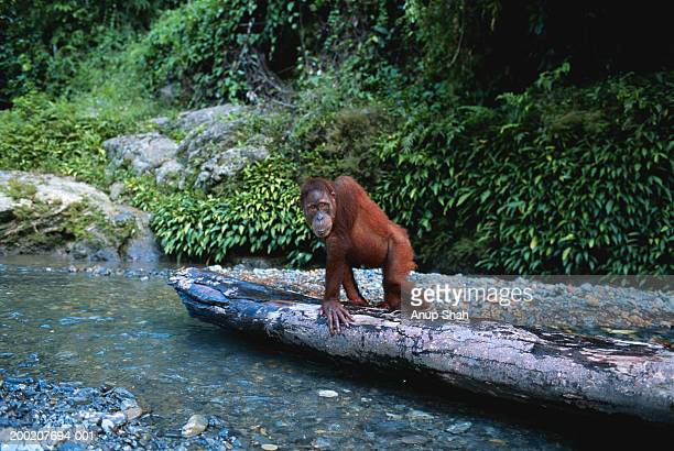Orang utan (Pongo pygmaeus) sitting and watching, Gunung Leuser N.P, Indonesia