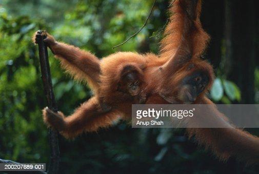 Orang utan (Pongo pygmaeus)  with young, close up, Gunung Leuser N.R, Indonesia