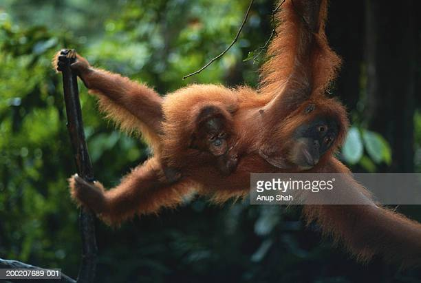 Orang utan (Pongo pygmaeus)  with young, close up, Gunung Leuser N.R, Indonesia