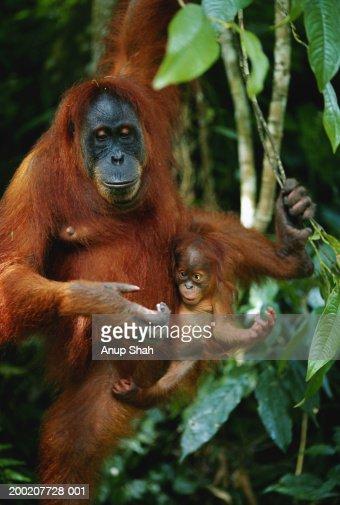 Orang utan (Pongo pygmaeus) with young, Gunung leuser N.P, Indonesia