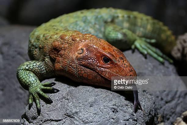 Orange and green scaly caiman lizard