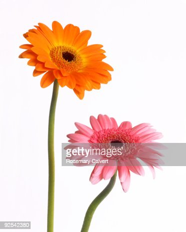 Orange and pink gerbera flowers in close up. : Stock Photo