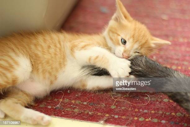 Orange and white kitten playing with dog's tail