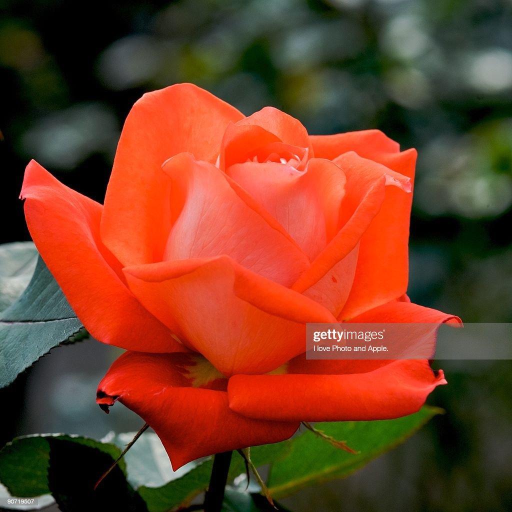 Orange Beauty : Stock Photo