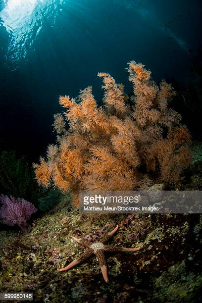 Orange black coral bush and a sea star on a rocky reef top in Indonesia.