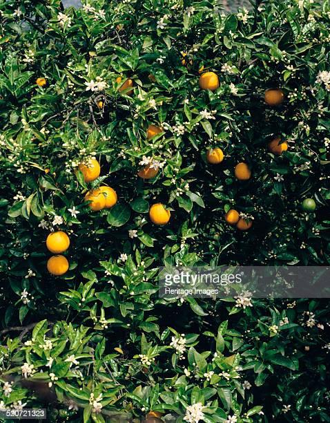 Orange blossom and fruit Majorca Orange tree with blossom and fruit