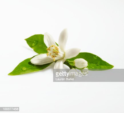 Orange Blossom on White Background